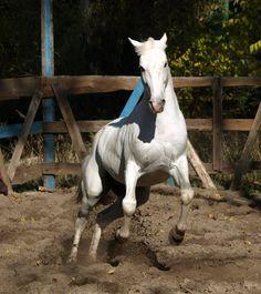 Orlov Trotter stallion Мемфис (Memphis)