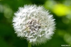 Löwenzahn, Pusteblume, Butterblume, Makro, Detail, Nahaufnahme, Close-Up, Dandelion, Blowball - Fotolia