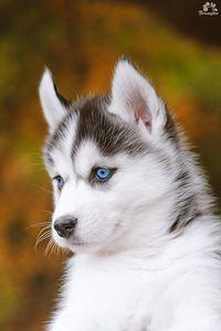 Sweet Siberian Husky Puppy & his Beautiful Blue Eyes. By Katerina Brusnika — «Brusnika-photo…» на Яндекс.Фотках