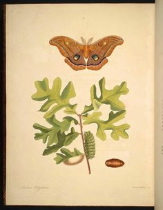 Illustrations taken from 'The Natural History of the Rarer Lepidopterous Insects of Georgia' by John Abbot and James Edward Smith. Printed 1797 by T. Bensley, for J. Edwards.