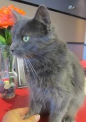 Dolce is an adoptable Maine Coon Cat in Kansas City, KS. Please contact Debbie 913-707-5111 ( ffalpets@yahoo.com ) for more information about this pet. Adoptions by appointment this week Monday thru F...