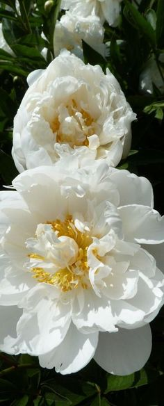 ✿ ~ All Things {WHITE} `✿⊱╮ **Peonies**