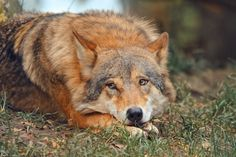 Wolf. . .watchful but kind