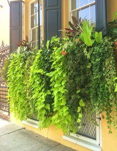 """Sweet Potato Vines - The Best """"Spillers"""" Ever - Vine Ideas Sweet Potato Plant Vine, Potato Vine Planters, Sweet Potato Vines, Window Box Flowers, Balcony Flowers, Window Boxes, Glass Garden, Garden Planters, Fruit Garden"""