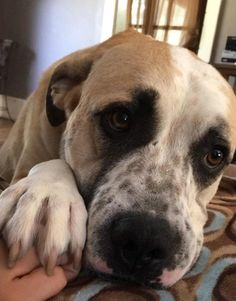 Meet Gino, an adoptable Anatolian Shepherd looking for a forever home. If you're looking for a new pet to adopt or want information on how to get involved with adoptable pets, Petfinder.com is a great resource.