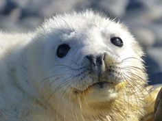 Great news! The first seal pups of the season have been born on the Farne Islands in Northumberland.