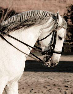 Andalusian horse head by toccatamundi via Flickr.com