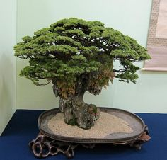 ~ Bonsai Tree ~
