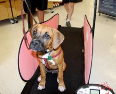 This dog is adorable trying out the Dog Pacer