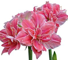 1000 images about hippeastrums on pinterest amaryllis for Amaryllis sweet pink