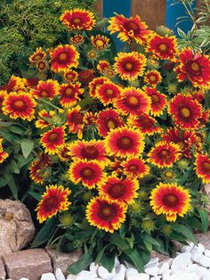 Blanket Flower – Gaillardia aristata, commonly known as Blanket Flower, is a valued plant because of its very long bloom season. Blanket Flowers are valuable for their very long season of bloom. The Arizona Sun cultivar will bloom extensively even… Flowers Perennials, Planting Flowers, Plants, Garden, Lawn And Garden, Beautiful Flowers, Perennials, Trees To Plant, Flowers