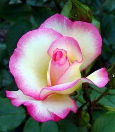 Rose -- pink picotee