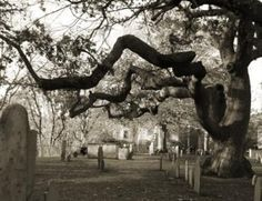 Tree in cemetery next to the Salem Witch Trial memorial in Salem, MA