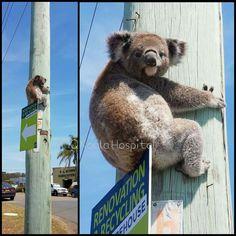 Iiiiiiiiii make a mistake i think. Koala Tattoo, The Wombats, Koala Bears, Australia Animals, Baby Turtles, Kangaroos, Cute Funny Animals, Mans Best Friend, Climate Change
