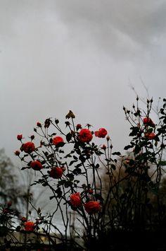 winter roses by Destiny Dawson https://www.flickr.com/photos/destinydawson/