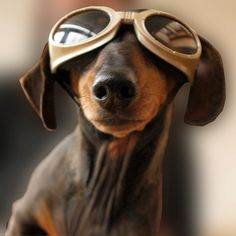 brown baron steam punk dog