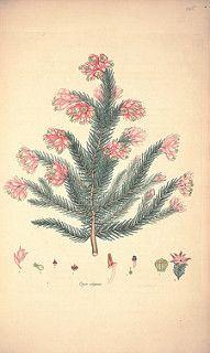 Erica elegans | by peacay
