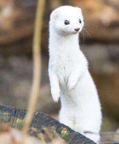 ペット オコジョ イイズナがかわいい!ペットにできるかどうかやオコジョとの違いも解説