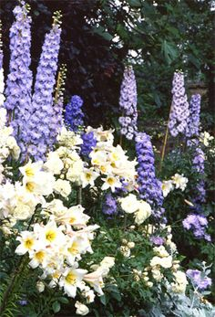 cottage planting in other gardens: Delphinium, Regal Lily, Iceberg Rose, Goat's Rue, Salvia sylvestris, Viper's Bugloss