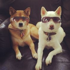 These Shibas are too cool for school!   www.DogVacay.com