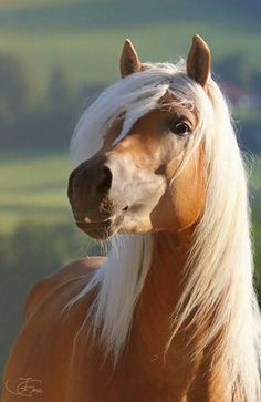 I always wanted to own a Palomino. This was the horse of my dreams. Now I'm too old, but if I could turn back the hands of time and be 25 again, my Palomino would look like this. .