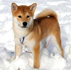 what i'm loving right now. | SHIBA INU dogs! they look like foxes!