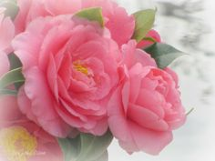 Pink camellias in bloom #pink #camellias #spring