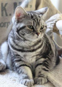 Lovely Silver Tabby