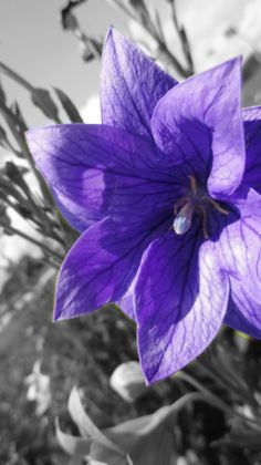 Balloon Flower - I had these in my Garden this year and they were so much fun for my kids.  They loved watching the balloon blow up and pop into a flower.
