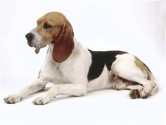 artois hound photo | Artois Hound Pictures and Images