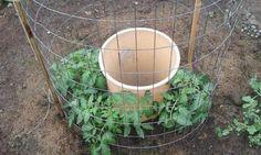 Cette astuce incroyable aidera à faire pousser vos tomates au-delà de vos attentes!