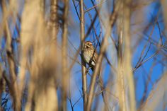 Emberiza schoeniclus - Rohrammerdame Nature Pictures, Insects, Owl, Birds, Animals, Animales, Animaux, Owls, Bird