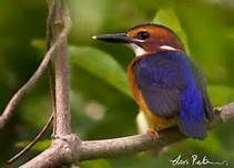 African Pygmy-Kingfisher - Bing Images