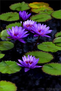 Surfacing purple beauties...Water Lily...stars of the pond