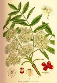rowan botanical illustration