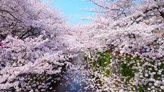 目黒川 SAKURA cherry blossoms 2015年は花見旅行に行こう!桜の名所10選【東京編】
