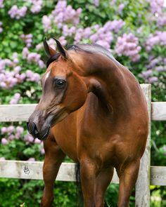 Graice :: Argent Farms LLC :: Distinctive Arabian Horses