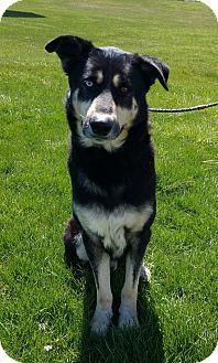Lisbon, OH - German Shepherd Dog/Husky Mix. Meet Frederick, a dog for adoption. http://www.adoptapet.com/pet/15317113-lisbon-ohio-german-shepherd-dog-mix