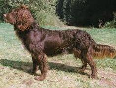 Deutscher Wachtelhund http://www.dogbreedinfo.com/deutscherwachtelhund.htm