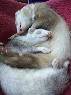 This is why ferrets need friends.