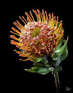 Pincushion Protea In Black And White by Endre Balogh White Flower Photos, White Flowers, Nature Photography, Flower Photography, White Photography, Photo B, Plant Illustration, Natural Forms, Pin Cushions