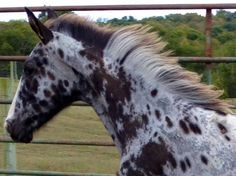 Blue Merle, Appaloosa, Pretty Horses, Thoroughbred, Beautiful Creatures, Stripes, Facebook, Amazing, Colors