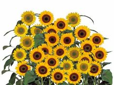 Helianthus Sunbright Supreme Passion Flower, Supreme, Flowers, Plants, Plant, Royal Icing Flowers, Flower, Florals, Floral