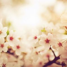 Papers.co wallpapers - mq76-blossom-cherry-spring-red-sakura-nature-flower - http://papers.co/mq76-blossom-cherry-spring-red-sakura-nature-flower/ - bokeh, flower
