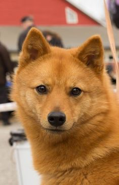 Finnish Spitz Lab mix   Dog Breed Mixes and Mutts ...  Finnish Spitz Lab Mix