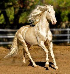 Voici le Akhal-Teke (ou akhal-téké) , l'une des plus belles races de chevaux au monde originaire du Turkménistan et emblème de ce pays.