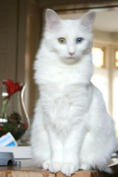 Indah my lovely cat with her odd eyed look…sent to us by Christine Klein.