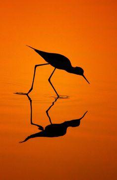 ஜஜஜ Black-Winged Stilt's Silhouette, By Bhanu Kiran Botta. Silhouette Fotografie, Shadow Silhouette, Sunset Silhouette, Silhouette Pictures, Bird Silhouette, Silhouette Photography, Orange Aesthetic, Black Wings, Mirror Image