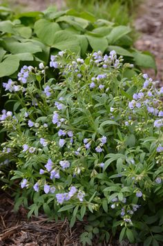 Polemonium reptans, w twinleaf in this image (expanding hostas in the garden here).  Self-seeds a little but I'd love more.