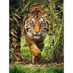 Tiger Stalking - Diamond Painting - 60 x 80 cm Square Diamonds
